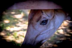Okapi (Indiana Juans) Tags: zoo sanantonio texas okapi sad adventurer adventure