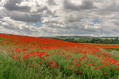 simply red (Woewwesch) Tags: poppy poppies fields outside outdoor landscape colors red green hills clouds grey flower