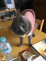 Argent Shakes her Head (sjrankin) Tags: 17june2019 edited kitahiroshima hokkaido japan animal cat closeup argent tunic livingroom table blurry