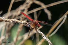 Red dragonfly (lamoustique) Tags: dragonfly red salmoncreek salmoncreektrail vancouver washington usa