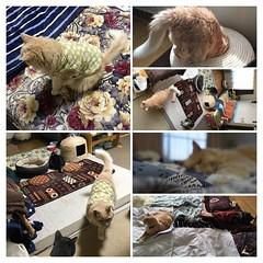 Norio Goes to Collage (sjrankin) Tags: 18june2019 edited kitahiroshima hokkaido japan animal cat closeup norio autoprocessed montage cats collage