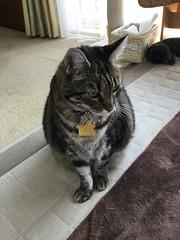 Tigger's Missing Mat (sjrankin) Tags: 18june2019 edited kitahiroshima hokkaido japan animal cat closeup tigger floor mat warmingmat blurry