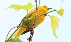 yellow warbler male at Cardinal Marsh IA 653A1089 (naturalist@winneshiekwild.com) Tags: yellow warbler male cardinal marsh winneshiek county iowa larry reis