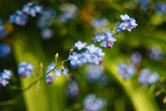 Blue. (tony allan tony allan) Tags: forgetmenot flower m42 manualfocus nikond80 hanimar55mmstuckonf17 legacyglass bokeh