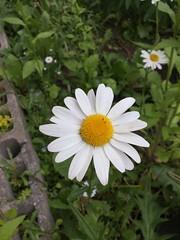 Daisy-Like (sjrankin) Tags: 17june2019 edited kitahiroshima hokkaido japan garden flower daisy windy closeup plant weeds