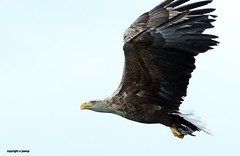 White Tailed Sea Eagle  J78A0279 (M0JRA) Tags: scotland isles mull sea water waves boats reflections land birds holidays vacations sky clouds sunset sun deer fields roads gulls eagles