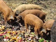 10 Mangalitsa piglets, about 5 weeks old (annkelliott) Tags: farm animal pig mangalitsapig piglets young eating fruit