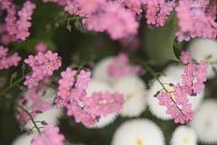 Pink. (tony allan tony allan) Tags: forgetmenot flower m42 manualfocus nikond80 hanimar55mmstuckonf17 legacyglass bokeh