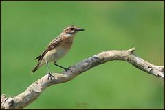 Tarier des prés ( Saxicola rubetra ) (Le Papa'razzi) Tags: tarierdesprés saxicolarubetra oiseaumigrateur passereau perchoir nikond300s nikkor300mmf4