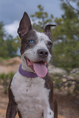 Cleopitra (Cruzin Canines Photography) Tags: animal animals canon canoneos5ds canon5ds canine 5ds eos5ds dog dogs pet pets portrait cleo cleopitra outdoors outside nature naturallight naturepreserve palmerpark colorado coloradosprings pitbull pit pitbullterrier terrier americanpitbullterrier
