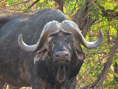 From Nature's Old Age Home  - Buffalo / Buffel (Pixi2011) Tags: buffalo krugernationalpark big5 southafrica africa wildlifeafrica wildlife wildanimals nature animals