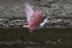 Roseate Spoonbill (charlesgyoung) Tags: charlesyoung spoonbill nikon nikonphotography nikondx columbia karineaignerphotographyexpedition bird birding wildlifephotography