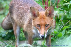 Watching You, Watching Me........ (law_keven) Tags: fox animals wildlife wildlifephotography catford london england urbanfox redfox