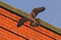 IMG_9147 (superbrad-) Tags: superbrad superbradphotos ianbradley derbyshire belpereastmill belperrivergardens belperperegrines peregrin falcon eyass tiercel peregrinejuvenile raptors falcons birdsofprey