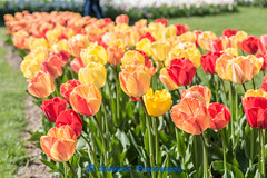 Morges, Fête de la Tulipe (Stefano Procenzano) Tags: morges vd svizzera cantonvaud ch fêtedelatulipe parcdelindépendance nikon nikkor d750 nikond750 28105mmf3545d reportage availablelight tulipano tulipe fiori flowers fleurs blumen цветя