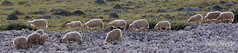 Flock of sheep in backlight (chk.photo) Tags: ocean landschaft nature naturewatcher outdoor animal landscape water natur naturemasterclass light ngc schaf backlight kroatien berg croatia sheep flickrtravellaward flickr meer