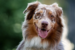 Happy I (patrick_illhardt) Tags: dog hund hundefotografie aussie australian shepherd portrait dogportrait tierfotografie tiere animal animalphotography pet petphotography