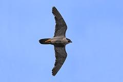IMG_9311 (superbrad-) Tags: superbrad superbradphotos ianbradley derbyshire belpereastmill belperrivergardens belperperegrines peregrin falcon eyass tiercel peregrinejuvenile raptors falcons birdsofprey