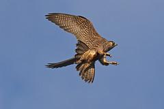 IMG_9175 (superbrad-) Tags: superbrad superbradphotos ianbradley derbyshire belpereastmill belperrivergardens belperperegrines peregrin falcon eyass tiercel peregrinejuvenile raptors falcons birdsofprey
