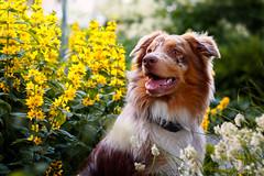 Happy II (patrick_illhardt) Tags: dog hund hundefotografie aussie australian shepherd portrait dogportrait tierfotografie tiere animal animalphotography pet petphotography