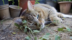 Cat (_thao) Tags: cat backyard garden relaxing pet pets