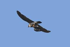 IMG_9285 (superbrad-) Tags: superbrad superbradphotos ianbradley derbyshire belpereastmill belperrivergardens belperperegrines peregrin falcon eyass tiercel peregrinejuvenile raptors falcons birdsofprey