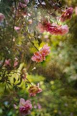 Albertine (judy dean) Tags: judydean 2019 garden texture ps rose rosa albertine climber rambler pink