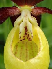 Cypripedium calceolus (L'herbier en photos) Tags: orchidées orchidaceae orchidée orquídea orchid cypripedium calceolus sabotdevénus ladysslipper zapatitos dama sabot vénus ladys slipper formigal sallent gállego alto huesca aragon espagne aragón españa pyrénées pirineo pirineos pa0433 ecoid676 tena