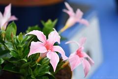 Mandevilla Sundaville Cream Pink (Bri_J) Tags: rhs chatsworthflowershow2019 chatsworthhouse edensor derbyshire uk chatsworth flowershow nikon d7500 mandevilla sundavillecreampink flowers bokeh sanderihybrid apocynaceae pink