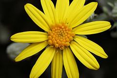 Senecio flower (Lord V) Tags: macro flower senecio