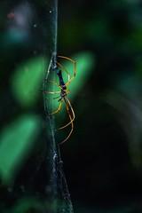 A bit of scorpion in a spider (_SinaColada_) Tags: orange black green nature animal thailand outside spider outdoor natur jungle spinne phuket tier dschungel kathu team sony alpha netz sonyalpha6000 ilce6000 macro bokeh