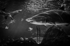 Day 159 of 365 - World Ocean Day (gcarmilla) Tags: shark squalo aquarium acquario underwater blackandwhite bw biancoenero