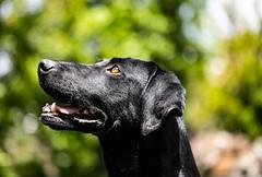 Tea (diego_russo) Tags: dog cane catzeddu cateddu zakur perro cao tea diegorusso dogportrait bokeh bokehlicious