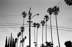 BW (susan catherine) Tags: blackwhite film leica m6 35mm losangeles palmtrees palms wires ave49