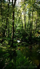 Bosque 'Mágico' de Padrenda (vmribeiro.net) Tags: padrenda espanha bosque primitivo galiza galicia spain