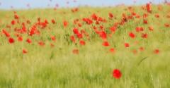 P6020677_hf (alfred.reinartz) Tags: blumen flower mohn poppy