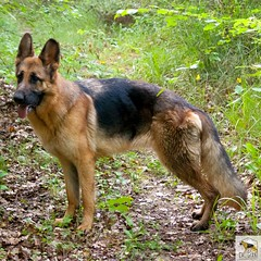 German Sherherd (Allevamento Casa Caligiani) Tags: germanshepherd pastoretedesco schäferhund gsd dog cane natura bevagna umbria italia