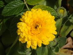 Flores. (EduOrtÍn.) Tags: flor planta hojas