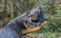 Pantanal_3907 (Jimmy Vangenechten 76) Tags: geo:lat=1651198700 geo:lon=5674920700 geotagged brazilië brazil pantanal wildlife animal dier poconé matogrosso estradatranspantaneira transpantaneirahighway mt060rodoviatranspantaneira microrregiãodoaltopantanal mesorregiãocentrosulmatogrossense centralwestregion pousoalegrelodge caimanyacare yacarekaaiman yacarecaiman crocodile kaaiman jacara amphibia amfibie reflection reflectie