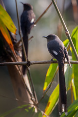Long-tailed Sibia (Rajiv Lather) Tags: longtailedsibia heterophasiapicaoides himalayas mountains birds birding birder india photograph nature wildlife avifauna aves bokeh image picture pic photo light focus perch uncommon