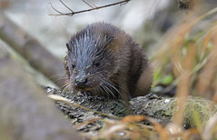 Otter (KHR Images) Tags: otter lutralutra cub juvenile wild mammal mustelid river wildlife nature nikon d500 kevinrobson khrimages