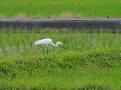 Great egret (Ardea alba, ダイサギ) (Greg Peterson in Japan) Tags: japan 栗東市 shiga wildlife ritto 野鳥 egretsandherons 滋賀県 birds ダイサギ hayashi shigaprefecture