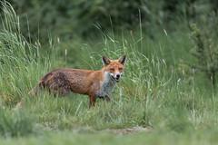 Fox (Glenn.B) Tags: nature wildlife buckinghamshire animal mammal fox grassland redfox vulpesvulpes britishfox