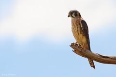 Falco sparverius (Wildlife and nature - Colombia) Tags: falcosparverius cernícaloamericano americankestrel kestrel cernicalo alexparejabirdphotographer