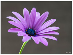 African Daisy (Bear Dale) Tags: single african daisy ulladulla southcoast new south wales shoalhaven australia beardale lakeconjola fotoworx milton nsw nikond850 photography framed nature nikon d850 nikkor afs micro 105mm f28g ifed vr flower flores fluers soft light flowersadminfave