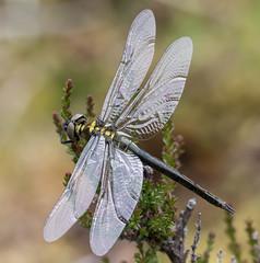 Northern Emerald Dragonfly (Lutra77) Tags: northernemerald dragonflies dragonfly somatochloraarctica emaralds odonata ardnamurchan naturephotography nature closeup macro