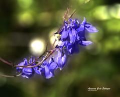 Aquilegias (azucena G. De Salazar) Tags: aquilegia flor flower lorea euskalherria euskadi basquecountry