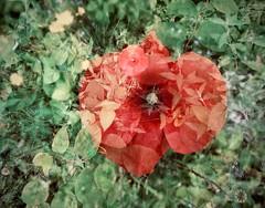 klaproos (delnaet) Tags: klaproos poppy bloem fleur flor flora coquelicot amapola roja rood red rouge rot