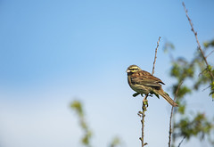 Cirl Bunting male (Benjamin Joseph Andrew) Tags: one lone single individual farmland passerine songbird summer bird arable perching sunshine blueskies