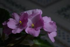 _DSC2768 (Geza (aka Wilsing)) Tags: africanviolets micronikkor55mm35 plant flower indoors sooc f40